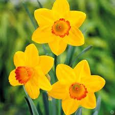 buy daffodil flower bulbs seeds in nepal on best price