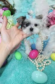 Morkies Do They Shed by Morkie Teacup Morkie Morkie Puppies For Sale Maltipoo Malshi