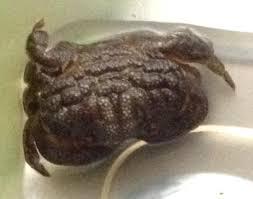 decorator crabs eat fish swcrabcompfaq3