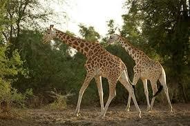 Zakouma National Park West African Giraffe