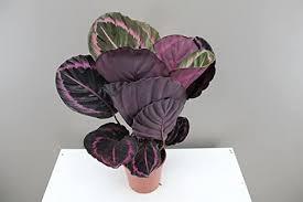 best4garden calathea gebetspflanze attraktive violette markierung ideal für badezimmer küche und flur luftreinigend calathea