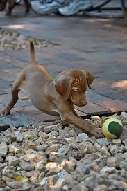 Vizsla Dog Breed Shedding by Vizsla Puppy Playing With A Ball Dogs Group Vizslas Best