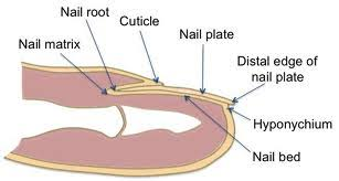 How to Treat Nailbed Injuries Medical Preparedness