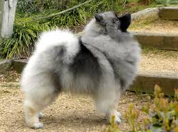 Dogs That Dont Shed Keeshond by 7 Reasons Why The Keeshond Totally Owns The Nickname The Smiling
