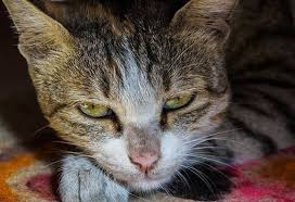 renal failure in cats 5 signs of kidney disease in cats petmd