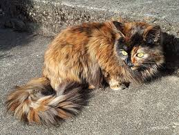 haired cat do tortoiseshell cats really tortitude catster
