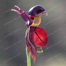 flying duck orchid seeds plant black orchid seeds garden