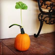 Natural Fertilizer For Pumpkins by How To Grow The Perfect Pumpkin Patch Hope Gardenshope Gardens