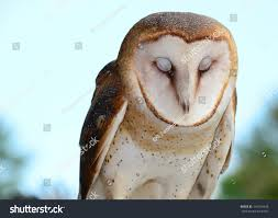 Barn Owl Eyes Closed Stock Photo 144310438 - Shutterstock Barn Owl Looking Over Shoulder Perched On Old Fence Post Stock Eccles Dinosaur Park Carnivore Carnival The Salt Project Barn Moving Head Side To Slow Motion Video Footage 323 Best Owls Images Pinterest Owls Children And Free Images Wing White Night Animal Wildlife Beak Predator 189 Beautiful Birds Sat A Falconers Glove Photo Royalty Image Paris Owl 150 Pictures Snowy More