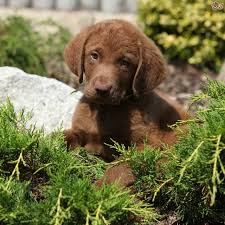 Chesapeake Bay Retriever Shed Hunting by Boy Chesapoo Puppy Needs To Work Wisbech Cambridgeshire