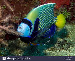 An Emperor Angelfish In Truk Lagoon Stock Photo: 182959977 - Alamy Books Dive Truk Lagoon The Japanese Wwii Pacific Shipwrecks Exterior Of Sunken Ship Fujikawa Maru Chuuk Ferated With Diverse Travel Ultimate Wreck Divers Haven Largest Graveyard Ships In The World 17 Pics Abandoned Tank Undwater Micronesia 1600x1068 Split Image Staghorn Coral Acropora Sp And Island Lagoon Dauntless Over Japan Expedition Hollis Diver Magazine Trevally On Seiko Shipwreck Stock Aircraft Midships Hold Scuba Diving Shipwreck Photos