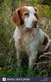 Do Brittany Spaniels Shed Hair by 100 Brittany Spaniel Shed Hunting A Review Of The Best 70
