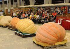 Atlantic Giant Pumpkin Taste by 30 Atlantic Giant Pumpkin Seeds Vegetable Fruit Gardening Non Gmo