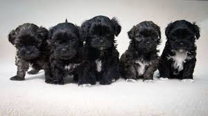 Shih Tzu Lhasa Apso Shedding by Lhasa Poo Lhasa Apso Poodle Mix Info Temperament Puppies Pictures
