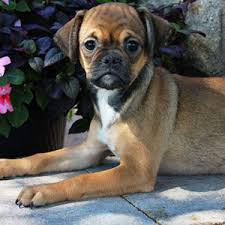 Do Pugs And Puggles Shed by Available Puppies Puppy Place