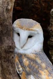 Best 25+ Barn Owl Sounds Ideas On Pinterest | Owls, Beautiful Owl ... Catching Prey In The Dark Barn Owl Tyto Alba Owls Make A Comeback Iowa The Gazette Of Australia Australian Geographic How To Build Or Buy Nest Box Company Best 25 Ideas On Pinterest Beautiful Owl Owls And Modern Farmer Absolutely Stunning Barn Drawing From Artist Vanessa Foley Audubon California Starr Ranch Live Webcams Red By Thef0xdeviantartcom Deviantart Tattoo Scvnewscom Opinioncommentary Beautifully Adapted 9 Best Images A Smile Animal Fun