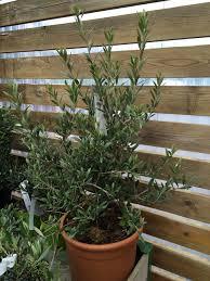 pot bonsai grande taille entretenir olivier en pot rempoter taille et arrosage