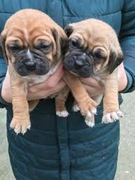 Do Pugs And Puggles Shed by Puggle Dogs Dogs And Puppies Rehome Buy And Sell In The Uk And