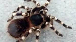 Hand-sized Tarantula Found In British Park Bin | Fox News Does Anyone Else Like Cars Tarantula Forum The Setup That All The Tech Obssed Nerds Are Using Shark Wheels High Quality Rc Quadcopter Upper Body Cover Shell Accessory Yizhan Pin By Chris On Trucks Pinterest Rigs Peterbilt Indiana Man Warns Locals To Beware Of Giant Spiders After Spotting Dead Thejournalie Victor Ehart Youtube Kids Tour Mexican Stock Photos Images Alamy Wall Vinyl Decal Sticker Animals Insect Spider Art Deepfried Tarantula Allegations Deliciousness