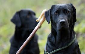 Good Dog Work How To Get Your Gundog Sit Labs