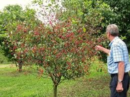 All About Dwarf Fruit Trees | #starkbros | Planting & Growing ... Backyard Farming Photo On Marvelous Fruit Trees Texas Plant A Tiny Orchard Hgtv Dwarf Peach Tree Peaches And Ctarines Pinterest 81 Best Pattern 170 Images On Garden And Berries In Small Mesmerizing 3 Fruit Trees For Small Space Yards Patios Youtube Backyards Gorgeous 135 Good For Yards Splendid Interesting Pics Decoration Inspiration Best To Grow Cool Glamorous Privacy Design 25 Ideas Patio
