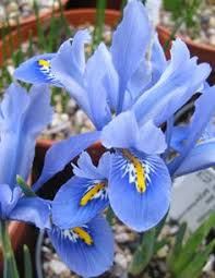 buy iris collection iris reticulata bulb collection delivery by