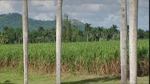 Sugar Cane Plantation Cuba
