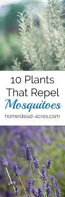 25+ Unique Keep Mosquitoes Away Ideas On Pinterest | Diy Mosquito ... 15 Backyard Tiki Torches Torches Citronella Oil And How To Get Rid Of Mosquitoes Mosquito Magnet The Best Ways To Of Naturally Beat The Bite Backyard Mosquitoes Research 6 Plants Keep Bugs Away Living Spaces Creepy 10 Herbs That Repel Bug Zapper Plant Lemongrass As A Natural Way Keep Away Pure 29 Best Images On Pinterest Weird Yet Effective Pest Hacks Thermacell Repellent Patio Lanternmr9w Home Depot 7 Easy Mquitos Dc Squad