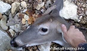 When Do Whitetails Shed Their Antlers by Doe With Antlers Doe With Horns Whitetail Hunting