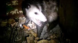 Opossum Cornered In My Yard By My Dogs - YouTube All About Opossums Wildlife Rescue And Rehabilitation Easy Ways To Get Rid Of Possums Wikihow Animals Articles Gardening Know How 4 Deter From Your Garden Possum Hashtag On Twitter Removal Living In Sydney Opossum Removal Services South Florida Nebraska Rehab Inc Help Nuisance Repel Gel Barrier Sealant For Squirrels And Raccoons To Of Terminix