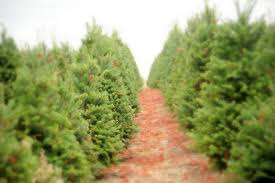 Santa Cruz Ca Christmas Tree Farms by How To Choose A Living Tree To Replant After Christmas Inhabitat