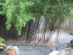planting bamboo in a pot black bamboo care in pots 28 images bamboo container planting