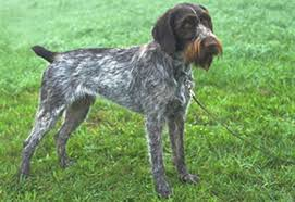 german shorthaired pointer shed german wirehaired pointer the inu