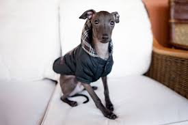 Do Italian Greyhounds Shed A Lot by 16 Dog Breeds Anyone Who Lives In An Apartment Should Consider