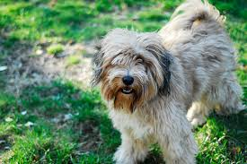 My Lhasa Apso Is Shedding Hair by Penny Penny Penny It U0027s As If I Have Nothing Else To Talk About