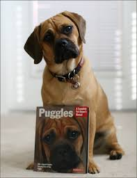 Do Pugs And Puggles Shed by New To The Forum Some Questions Boxer Forum Boxer Breed Dog