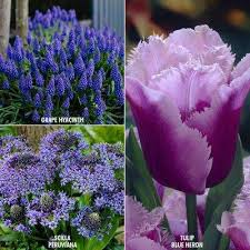 perennial blue flower bulbs garden plants flowers the