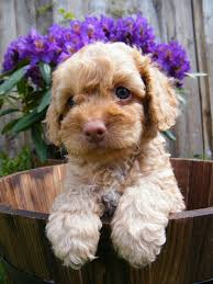 Small White Non Shedding Dog Breeds by Miniature Labradoodle Dog Info Temperament Puppies Training