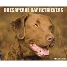 Chesapeake Bay Retriever Molting by 196 Best Chesapeake Bay Retriever Images On Pinterest Chesapeake