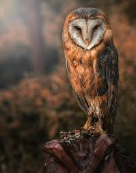 Barn Owl By Detlef Knapp - Photo 66410061 / 500px White Screech Owl Illustration Lachina Bbc Two Autumnwatch Sleepy Barn Owl Yoga Bird Feeder Feast And Barn Wikipedia Attractions In Cornwall Sanctuary Wishart Studios Red Eastern By Ryangallagherart On Deviantart Owlingcom Biology Birding Buddies 2000 Best 2 Especially Images Pinterest Screeching Youtube