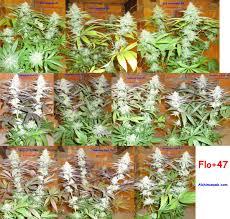 fin de floraison cannabis exterieur superbe fin de floraison cannabis exterieur 2 culture de