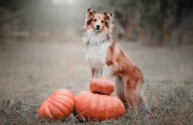 Using Pumpkin For Dog Constipation by Is Pumpkin Good For My Pet Pawculture