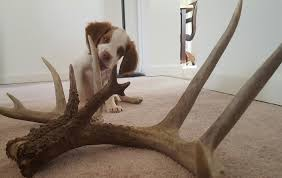 Dogs That Dont Shed Bad by Shed Hunting Dog Training How To Train Your Dog To Shed Hunt