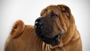 Do Shar Peis Shed Hair by Chinese Shar Pei Dog Breed Selector Animal Planet