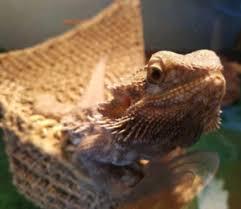 Bearded Dragon Heat Lamp Timer by Bearded Dragon Reptiles And Amphibians In Calgary Kijiji