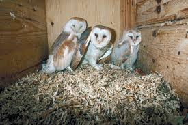Barn Owls For Pest Control – Eco-Farming Daily Common Barnowl Tyto Alba Two Juvenile Common Barn Owls At The Pramo Clothing Owling In Owls Glenn County Resource Cservation District Barn Owl Nest Box Nhbs Wildlife Shop Gardening For Birds All About Nesting Logs And Boxes Hecker Nursery Triangular Girl Scout Gold Award Benefits Birds Burroughs Audubon Society Boxes Hungry Project Bbook Mount Gravatt Environment Group Wiggly Wigglers Duhallow Raptor Plans Vip