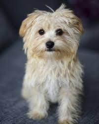 Do Long Haired Chiweenies Shed by Fantastic Information About The Maltese Chihuahua Mix Malchi