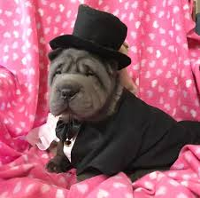 Do Shar Pei Lab Mix Shed by Rollsrus Sharpei