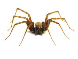 Minnesota Spiders: July 2009 Spiders At Spiderzrule The Best Site In World About Spiders Barn Funnel Weaver Spider North American Insects Bug Eric Thinlegged Wolf Genus Pardosa Grass How To Tell If A Spider Is Not Brown Recluse Spiderbytes