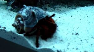 Halloween Hermit Crab Care by Red Hairy Legged Hermit Crab Cleaning Aquarium Sand Youtube